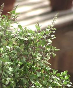 Tulsi - holy basil, bazylia azjatycka